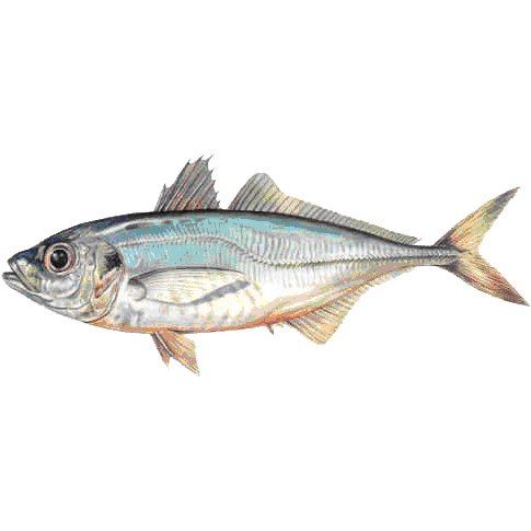 Chinese Nutrition Properties Of Mackerel